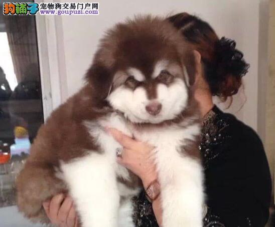 常州正规养殖场繁殖出售十字脸帅气英俊的阿拉斯加犬