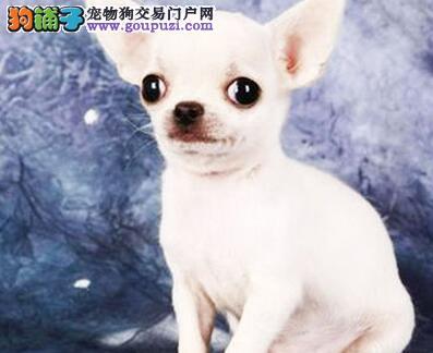 绍兴犬舍出售体型超小苹果脑袋的吉娃娃幼犬 终身健康