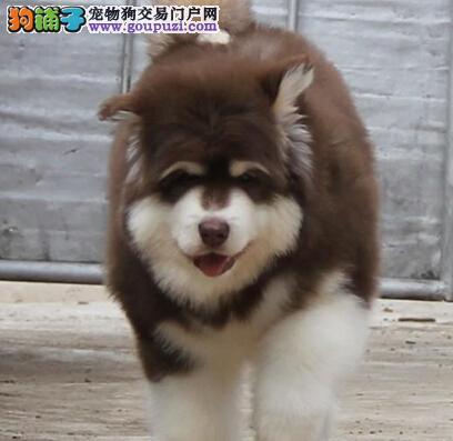 南宁实体犬舍直销出售优质阿拉斯加 可当面看狗支持货运2