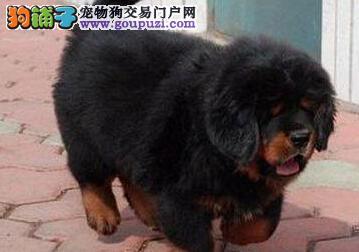 藏獒幼犬出售 包纯种健康 价格优惠 可上门看狗 签协议