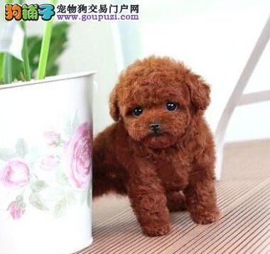 活泼可爱的精品贵阳泰迪犬找新家 爱狗人士优先选择1