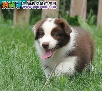 神犬繁殖基地出售品相好的边牧欢迎您上门订购