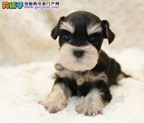 自贡高品质纯种雪纳瑞幼犬出售