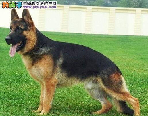 聪明勇敢黄白色边境牧羊犬,北京周边欢迎直接来购图片