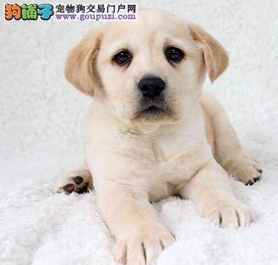 广东精品高品质拉布拉多幼犬热卖中下单有礼全国包邮