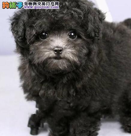 权威机构认证犬舍 专业培育泰迪犬幼犬可以送货上门
