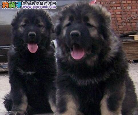 新余纯种犬繁殖基地高加索幼犬带证书芯片质保