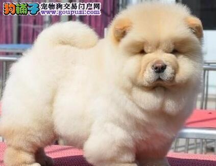 湘潭出售黄白色肉嘴扁嘴松狮犬 大头健康纯种欢迎上门