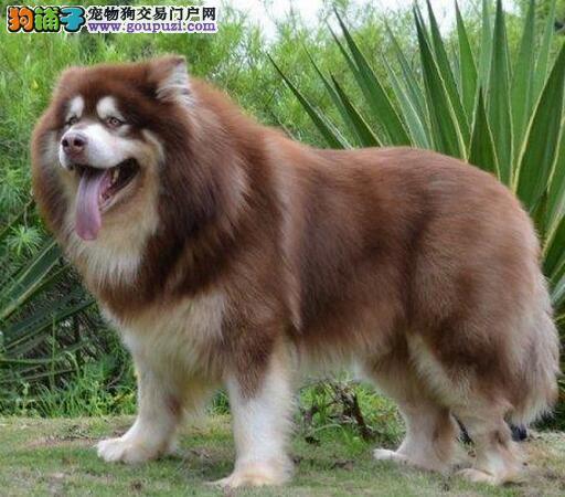 武汉犬舍繁育阿拉斯加犬直销阿拉价格合理性价比超高