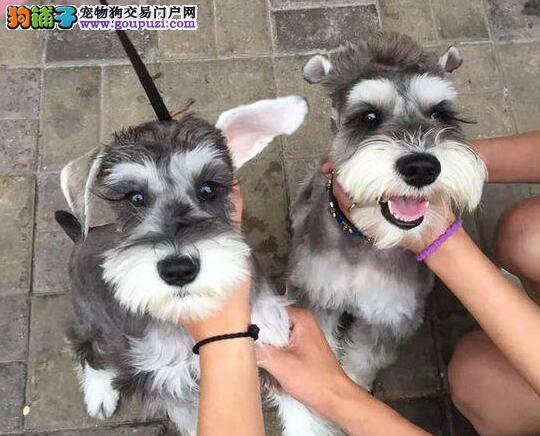纯种雪纳瑞幼犬~酬宾促销~协议质保高品质幼犬~