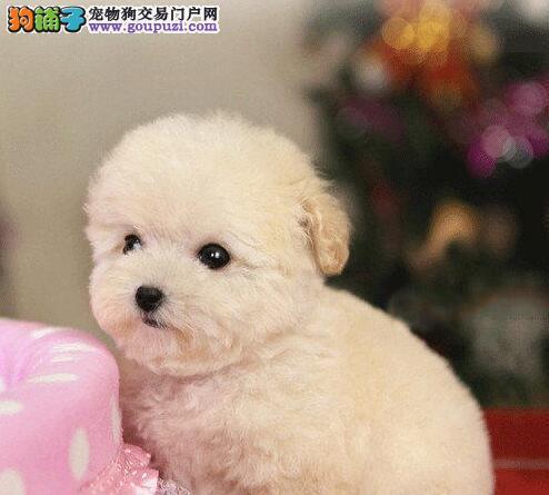 国外引进纯种泰迪犬直销价格出售中 南宁附近可送货3