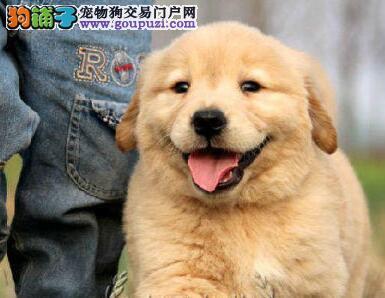 出售家养枫叶红金毛犬保证健康纯种售后有保