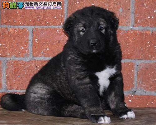 高大威猛的南京高加索犬火爆出售中 我们静候您的佳音