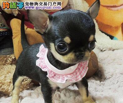 石家庄售精品吉娃娃吉花花幼犬疫苗驱虫已做欢迎选购