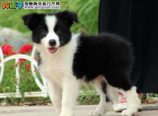 高品质高智商低价位出售广州边境牧羊犬 保证纯种健康