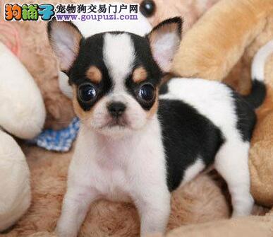 转让超小体苹果头大眼睛保定吉娃娃幼犬 疫苗驱虫齐全