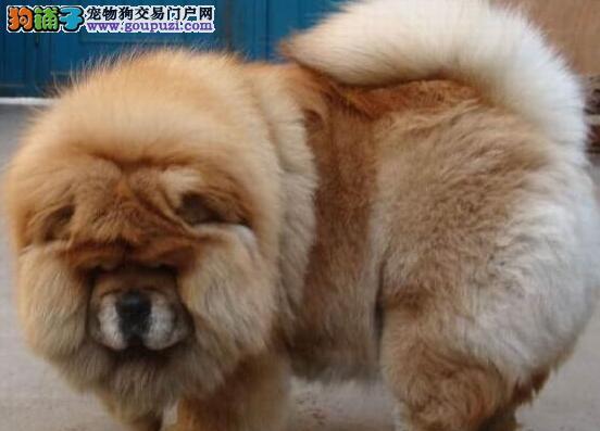 出售纯种松狮 白色松狮 黑色松狮 黄色松狮 小松狮