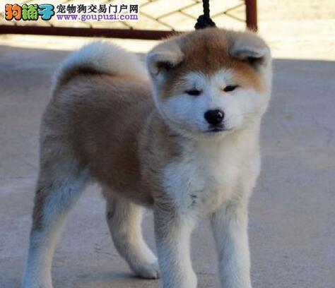 出售聪明伶俐海北州秋田犬品相极佳送用品送狗粮