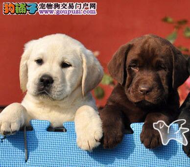 广东售拉布拉多 拉拉 神犬小七幼犬有意者尽快联系