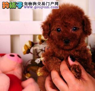 北京自家繁殖泰迪犬出售公母都有最优秀的售后
