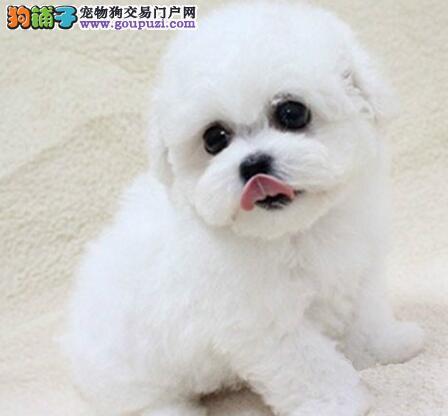 可爱纯种卷毛北京比熊犬犬舍直销 可赠送狗笼子