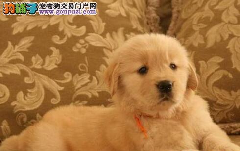 精品大头金毛幼犬出售骨骼粗质量好纯种