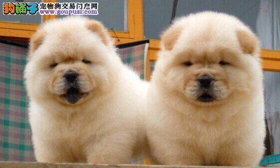 肉嘴紫舌头的东莞松狮犬超低价出售 喜欢可上门选购犬