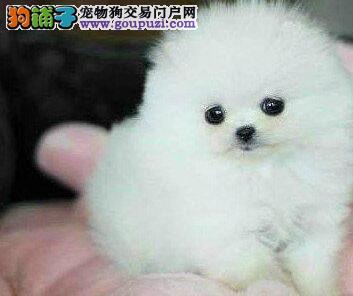 哈多利俊介血系的博美犬找新主人 求青岛朋友上门选购