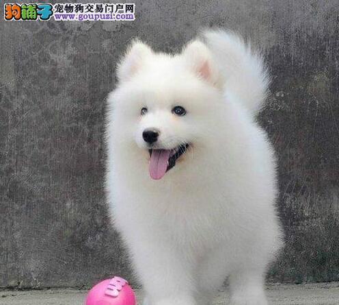 纯白萨摩耶 熊版萨摩耶家庭伴侣犬正规犬舍包纯种健康