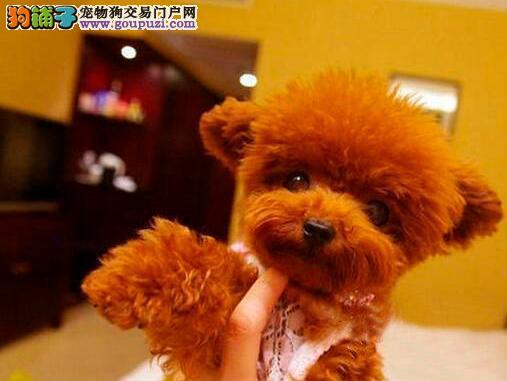 热销多只优秀的长沙纯种泰迪犬幼犬当日付款包邮2
