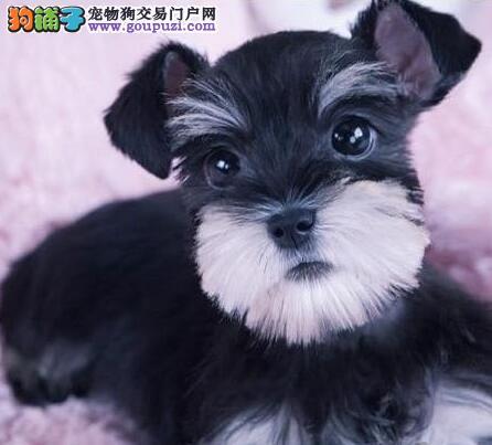 深圳售高品质小体雪纳瑞犬 免疫均已做完 签订售后合同