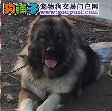 权威血统精品高加索犬出售顶级头版骨量毛量足可挑选