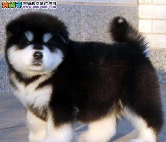 直销价格出售精品阿拉斯加雪橇犬 欢迎来福州上门挑选