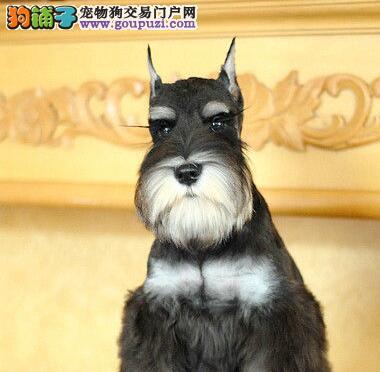 出售迷你体型超可爱的昆明雪纳瑞 可上门选购看种犬