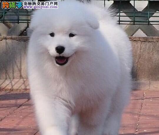 广州正规狗场直销澳版萨摩耶 可看狗狗父母可检查身体