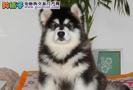 上海售阿拉斯加雪橇犬 大阿 阿拉斯加犬幼犬欢迎选购