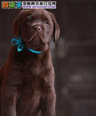 昆明正规繁殖基地特价优惠出售拉布拉多犬 可送货上门