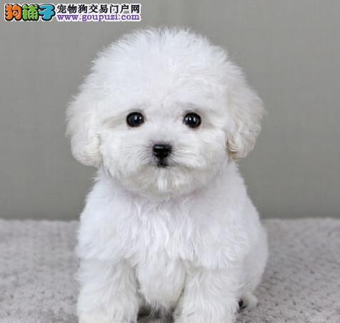 昆明正规狗场低价出售茶杯玩具血系的泰迪犬 签协议1