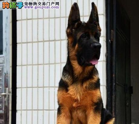 短粗翘黑色的昆明德国牧羊犬低价出售 请您放心选购