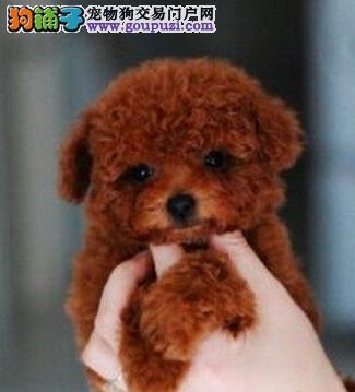 精品贵宾武汉热卖 保纯保健康 最适合小孩养的狗狗
