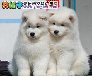 纯种萨摩耶出售犬舍繁殖微笑天使高端伴侣犬疫苗齐全