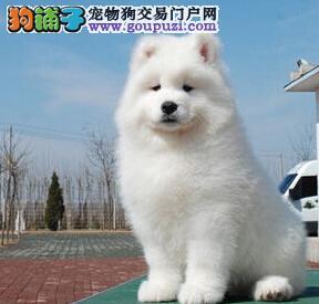 雪白色没有杂毛的厦门萨摩耶幼犬找新主人 狗贩子勿扰