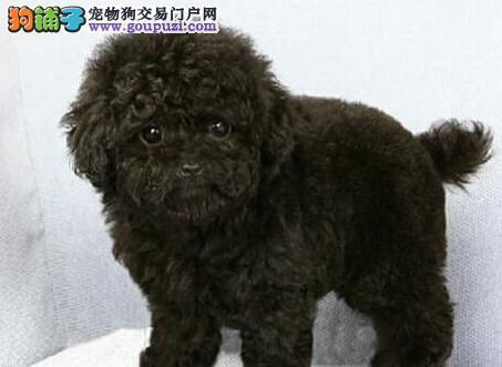 实体店直销多只健康深圳泰迪犬多种颜色可挑选