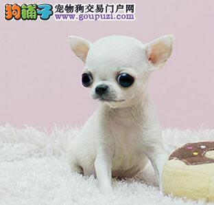出售苹果头吉娃娃 欢迎来武汉犬舍商议价格有赠品