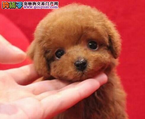 上海泰迪熊幼犬正规犬舍繁殖赛级泰迪狗粮制作签协议