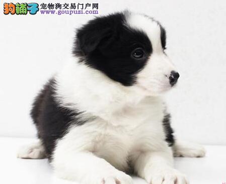 北京边境牧羊犬可办血统证