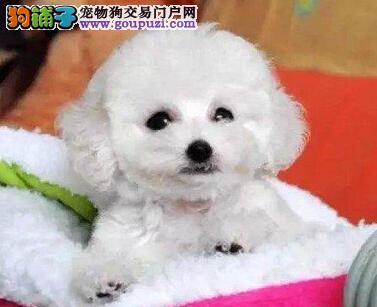 出售茶杯玩具血系的珠海泰迪犬 承诺终身免费售后服务1