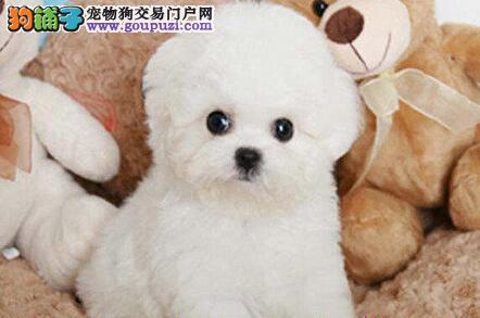 济南正规犬舍繁殖出售顶级品质的比熊宝宝 欲购从速2