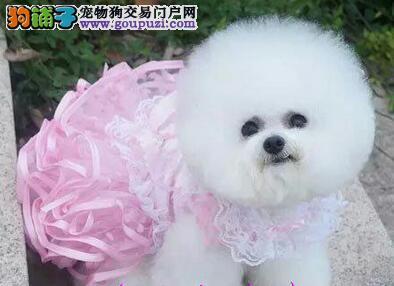 可爱迷人卷毛棉花糖版的汕头比熊犬找新家 签订协议
