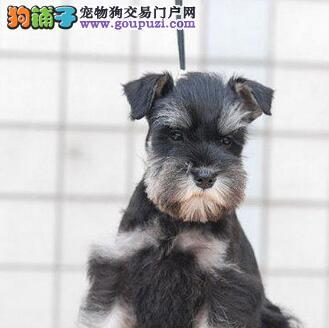 纯种可爱的济南雪纳瑞幼犬找爸爸妈妈 终身免费售后4